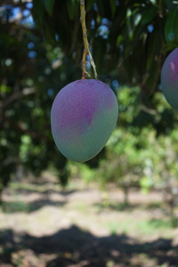 Haden hanging on the tree