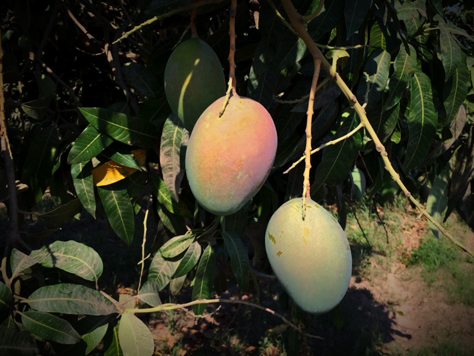 Overwhelming Demand Dominates Irregular Mexican Organic Mango Season