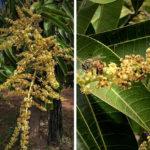 Bees Pollinating Mango Blossoms, Chiapas