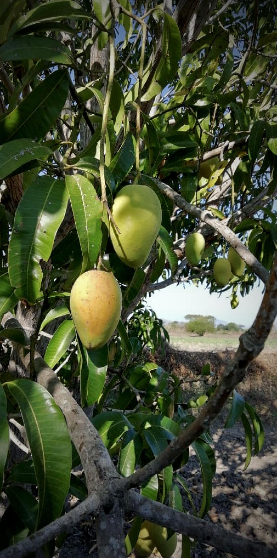 Ataulfo Mangoes, Chiapas