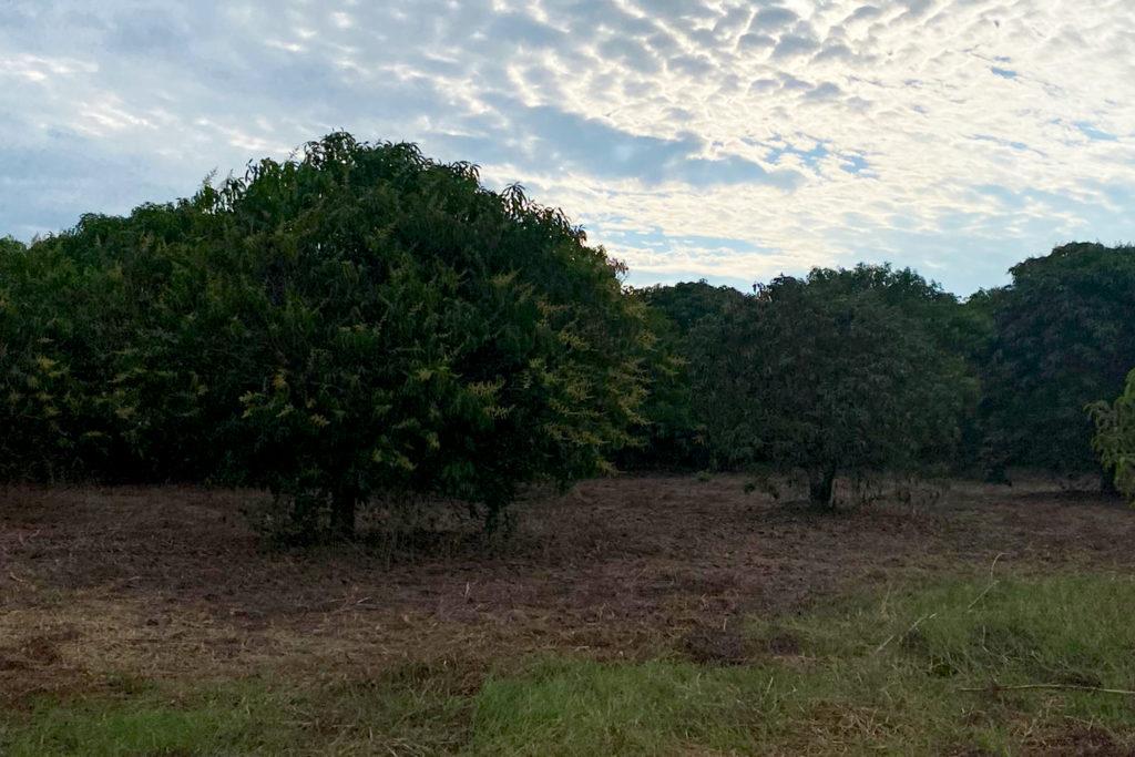 Chiapas Orchards- December 2020