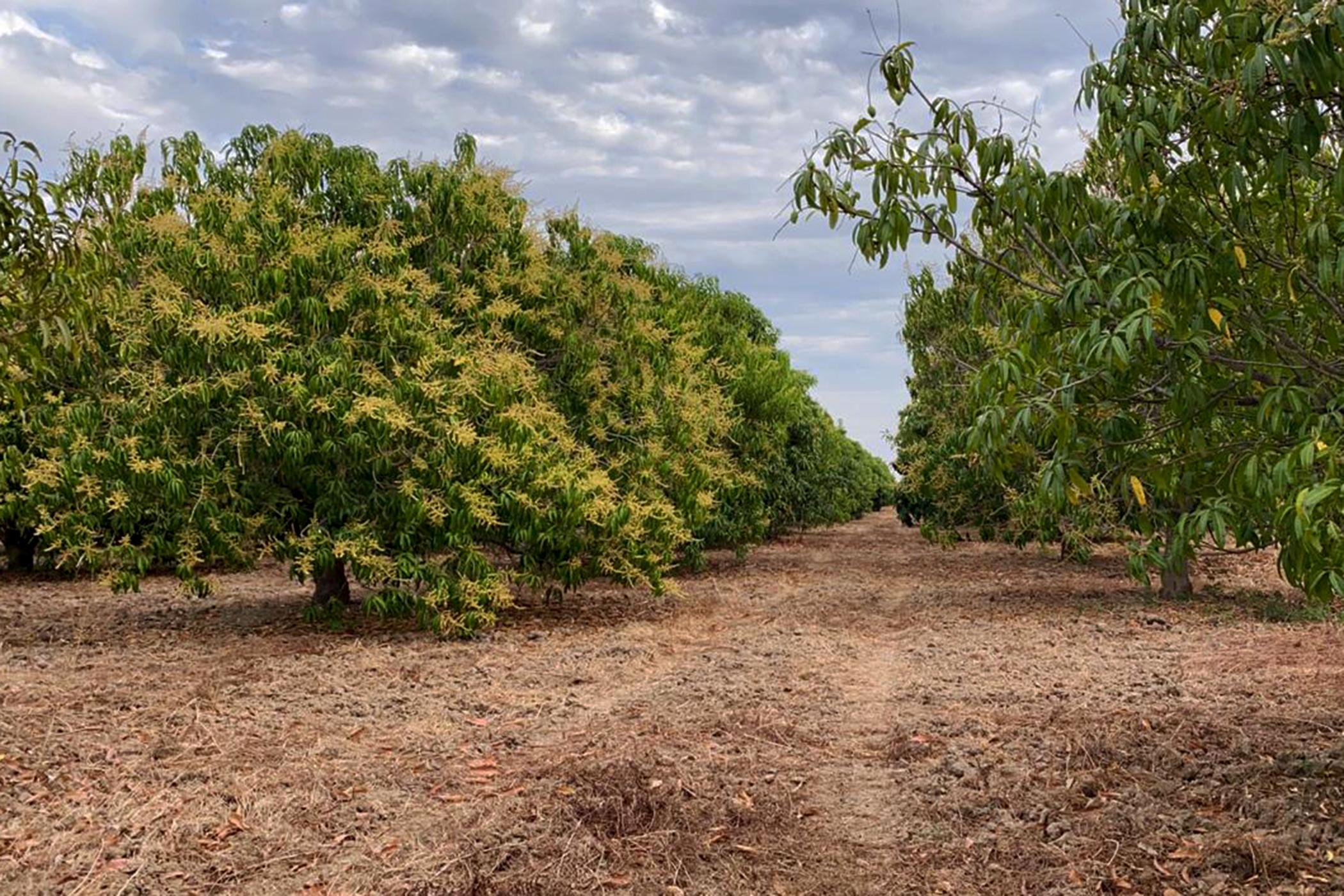 Mango Blooms.... Chiapas