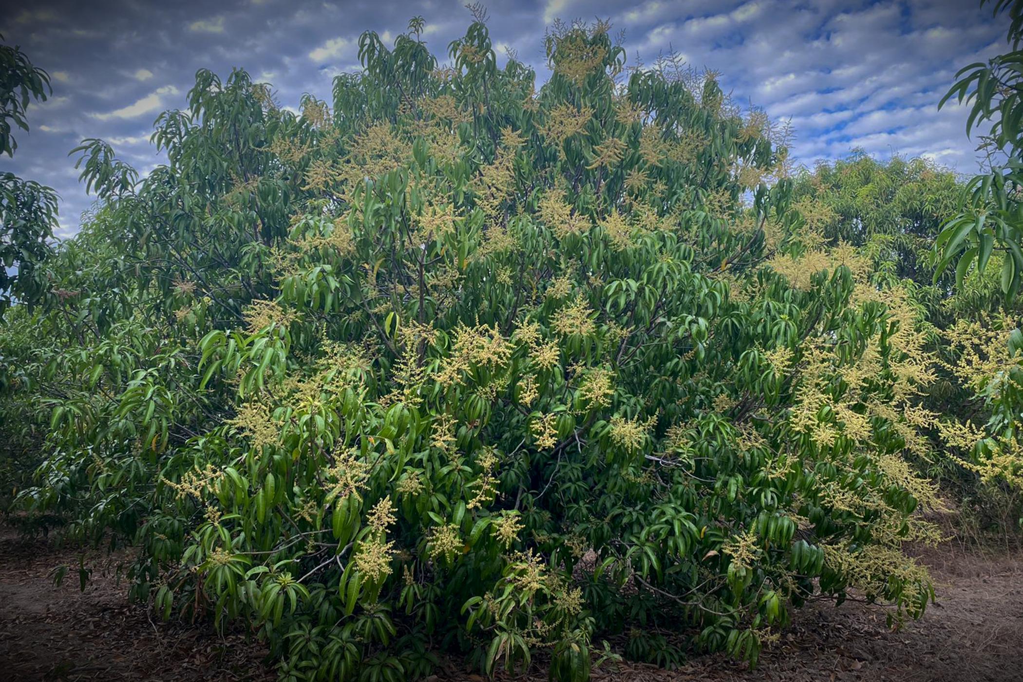 Mango Blooms