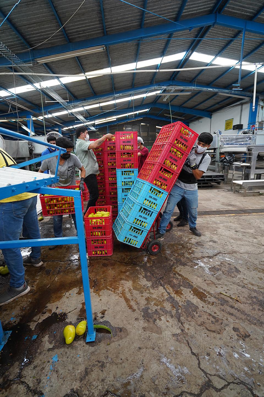 DSC00522 edjwheelling washed mangoes to water bath area copy