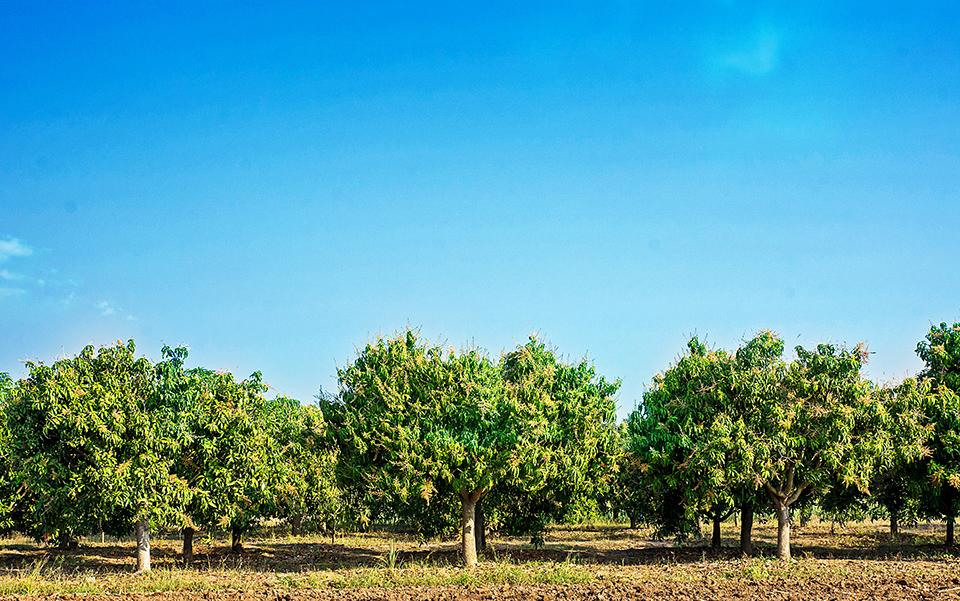 "<a class=""wonderplugin-gridgallery-posttitle-link"" href=""https://www.underthemangotree.crespoorganic.com/2017/01/05/sweet-fruitful-predictions-for-mexican-organic-mangoes/"" target=""_blank"">Sweet & Fruitful Predictions for Mexican Organic Mangoes</a>"