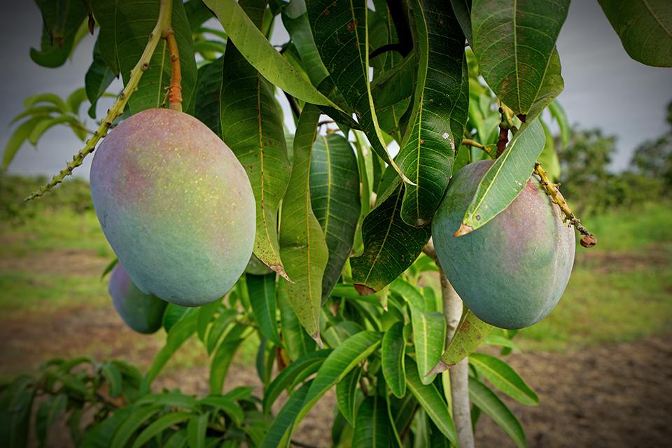 "<a class=""wonderplugin-gridgallery-posttitle-link"" href=""https://www.underthemangotree.crespoorganic.com/2019/02/25/carbon-sequestration-in-mangoes/"" target=""_blank"">Carbon Sequestration in Mango Trees</a>"