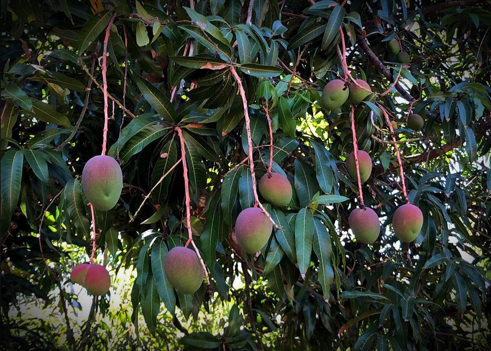 "<a class=""wonderplugin-gridgallery-posttitle-link"" href=""https://www.underthemangotree.crespoorganic.com/2019/03/07/copious-mexican-fruit-coming-soon/"" target=""_blank"">Copious Mexican Fruit (Coming Soon)</a>"