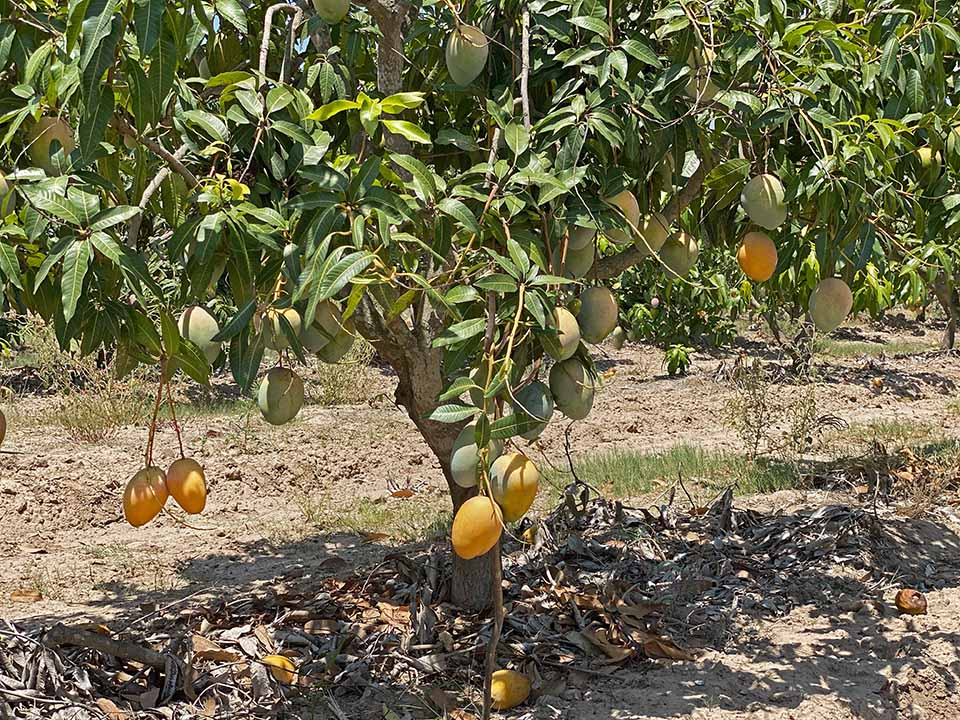 "<a class=""wonderplugin-gridgallery-posttitle-link"" href=""https://www.underthemangotree.crespoorganic.com/2020/09/02/imminent-end-for-mexican-mango-season/"" target=""_blank"">Imminent End for Mexican Mango Season</a>"