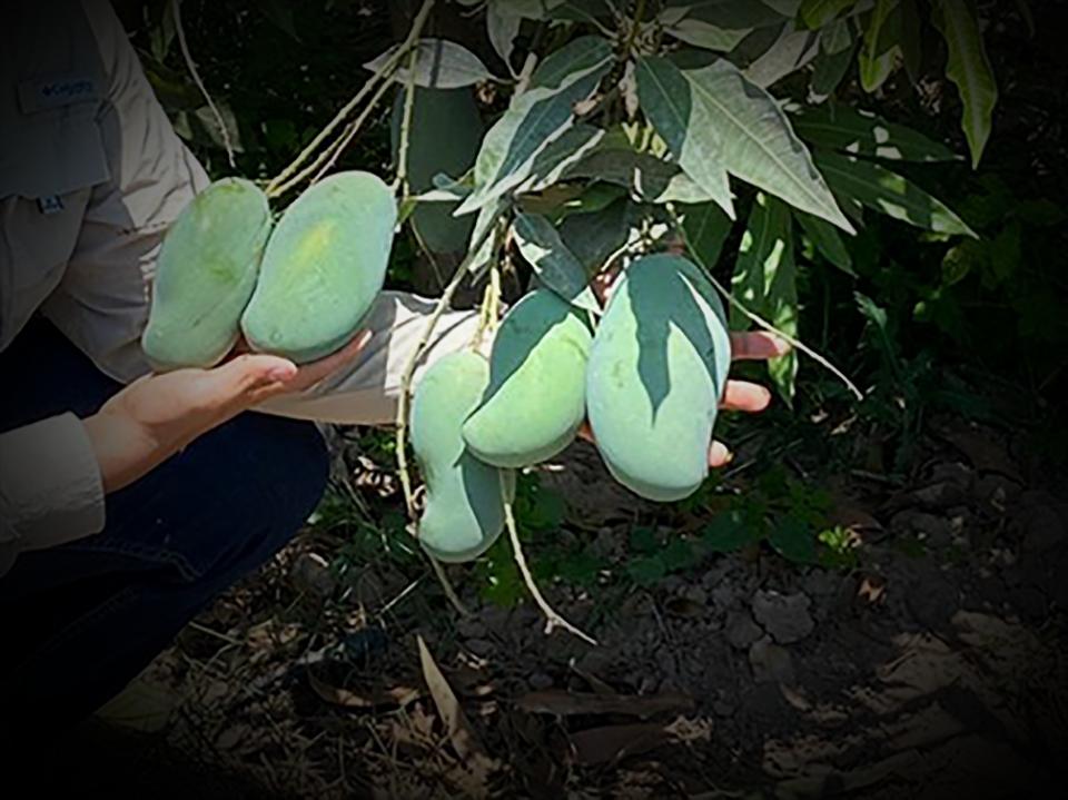 "<a class=""wonderplugin-gridgallery-posttitle-link"" href=""https://www.underthemangotree.crespoorganic.com/2021/06/21/crespo-organic-malika-mangoes/"" target=""_blank"">Crespo Organic Malika Mangoes</a>"